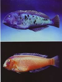 Two pictures of the male and female Victor Razorfish